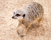 Cute Brown Meerkat Looking Up after Digging in Sand Stock Photo