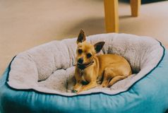 Cute brown miniature pinscher laying on its bed in the house royalty free stock photos