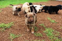 Mixed breed puppies. A cute brown mixed breed puppy and her litter-mates behind her Stock Photography
