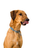 Cute brown mongrel dog licking lips, white background. Stock Images