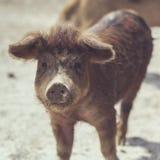 Cute Brown piglet Stock Photo