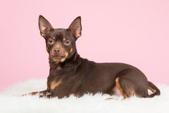 Cute brown pincher dog Royalty Free Stock Photos