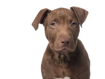 Cute brown pit bull terrier puppy Royalty Free Stock Images