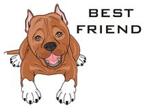 Staff lying with inscription. Cute brown pitbull lying with words best friend Stock Photos