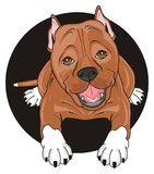 Staff peek up from black circle. Cute brown pitbull stick out from black circle Royalty Free Stock Images