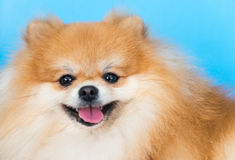 Cute brown pomeranian dog Royalty Free Stock Photography