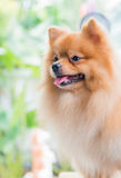 Cute brown pomeranian dog Stock Photography