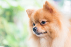 Cute brown pomeranian dog Royalty Free Stock Image