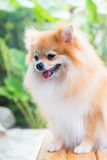 Cute brown pomeranian dog Stock Photos