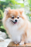 Cute brown pomeranian dog Royalty Free Stock Photos