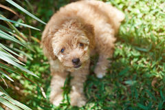 Cute brown poodle puppy Stock Images