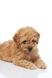 Cute brown poodle puppy Stock Photo