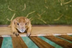 Cute brown Prairie Dog climbing on a wooden cage. A single Cute brown Cute brown Prairie Dog  is herbivorous burrowing rodents native to the grasslands of North Stock Photography