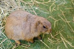 Cute brown Prairie Dog stay alone. A single Cute brown female Prairie Dog genus Cynomys is herbivorous burrowing rodents native to the grasslands of North Royalty Free Stock Image