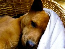 Cute brown puppy dog sleeping in a basket Royalty Free Stock Photos