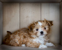 A cute brown puppy laying down Stock Photography