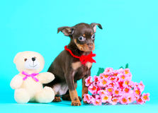 Cute brown puppy and pink flowers. Little dog on a turquoise background. royalty free stock photos