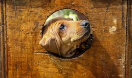 Cute brown puppy poking its face through a hole. In a wooden box stock images