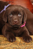 Cute brown puppy portrait Royalty Free Stock Photo