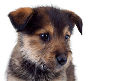 Cute brown puppy's face royalty free stock photos