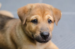 Cute brown puppy sitting looking and tongue hanging out Stock Photos