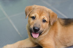 Cute brown puppy sitting looking and tongue hanging out Royalty Free Stock Photography