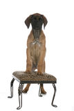 Cute brown puppy standing on printed stool Stock Images