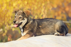 Cute brown puppy walks out his tongue Royalty Free Stock Photos