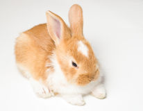 Cute brown rabbit Royalty Free Stock Images
