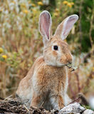 Cute brown rabbit with big ears Royalty Free Stock Photos