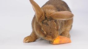 Cute brown rabbit eating carrot stock footage