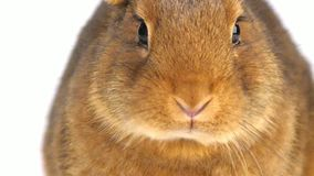 Cute brown rabbit eating stock video