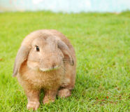 Cute brown rabbit on grass lawn Stock Images