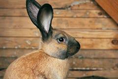 Cute brown rabbit in Latvia in Sabile. Cute brown rabbit in Sabile in Zviedru cepure (in English - Swedish hat :D Stock Image