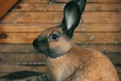Cute brown rabbit in Latvia in Sabile. Cute brown rabbit in Sabile in Zviedru cepure (in English - Swedish hat :D Royalty Free Stock Image