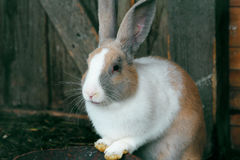 Cute brown rabbit in Latvia in Sabile. Royalty Free Stock Photo