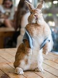 Cute brown rabbit show in cafe royalty free stock images