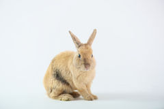 Cute Brown Rabbit Stock Photos