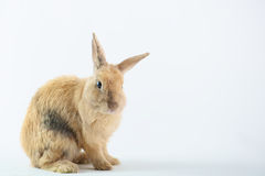 Cute Brown Rabbit Royalty Free Stock Photography