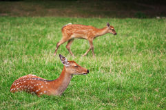 The cute brown roe deers relax in the grass Royalty Free Stock Photos