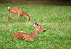 The cute brown roe deers relax in the grass Royalty Free Stock Image