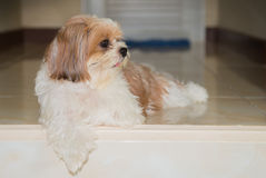 Cute brown Shih-Tzu dog. Royalty Free Stock Photos