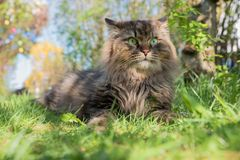 Brown siberian cat in the garden. Cute brown siberian pedigree cat in the garden, selective focus royalty free stock photo