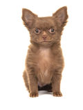 Cute brown sitting chihuahua puppy Stock Images