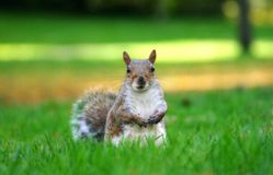 Cute brown squirell paused in the grass. Cute brown squirell in the grass looking at the camera with blurred background Stock Photo
