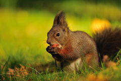 Cute brown squirrel with hazelnut on grass stock photos
