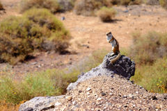Cute brown squirrel on the rock. Royalty Free Stock Photos