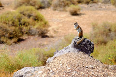 Cute brown squirrel on the rock. Stock Image