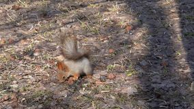 A cute brown squirrel sits on a stump and eats seeds on a Sunny spring day. Red-haired with a beautiful bushy tail stock video footage