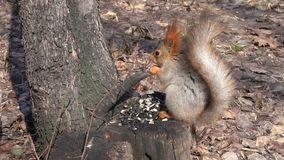 A cute brown squirrel sits on a stump and eats seeds on a Sunny spring day. Red-haired with a beautiful bushy tail stock footage